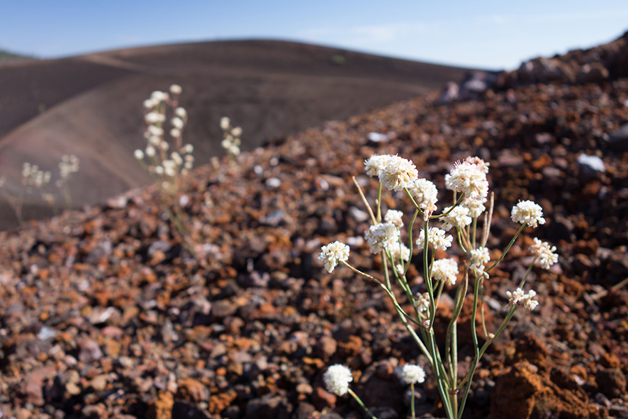 flowers growing at volcano summit