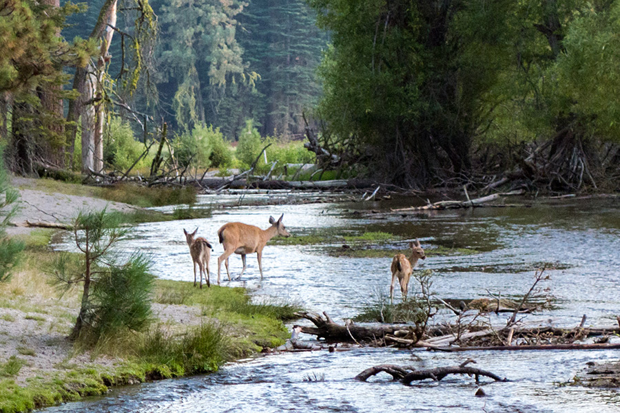 deer crossing a creek