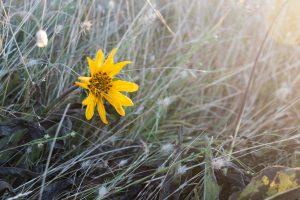 yellow wildflower at sunrise