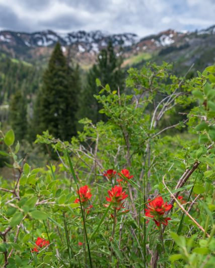 indian paintbrush and mountains