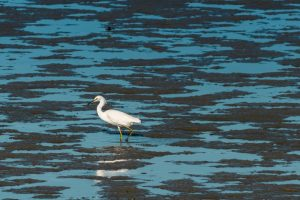 egret hunting in a marsh
