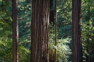 redwood tree trunks