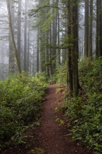 foggy forest path through the trees