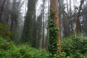 vines climbing tree trunks in a foggy forest