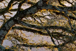 detail shot of mossy oak tree branches at sunset