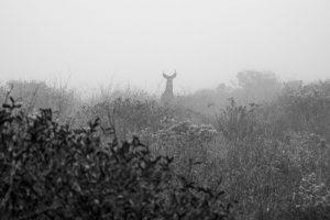 deer on a misty ridge