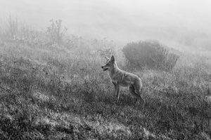 a coyote waiting for a clear path